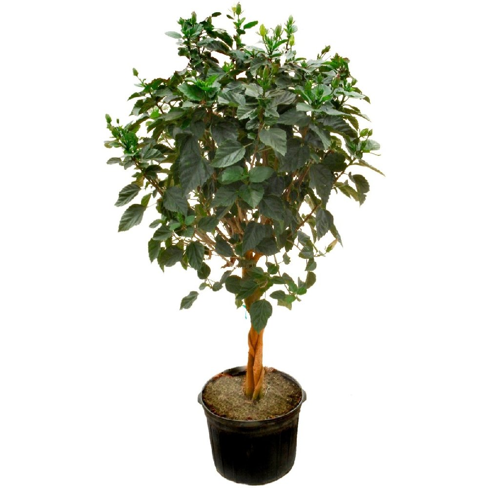 Cottage farms direct indoors and placing it in a bright sunny window to keep it blooming all season long when spring arrives move your tree back outdoors and enjoy izmirmasajfo