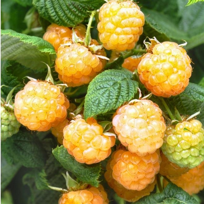 Picture of Live Raspberry (yellow berry) aka BERRY- Fall Gold Raspberry Plant Fit 5 Gallon Pot