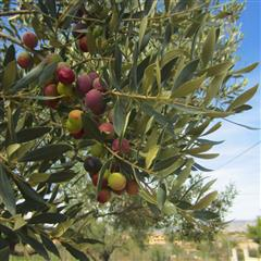 Cottage farms direct for Olive arbequina care