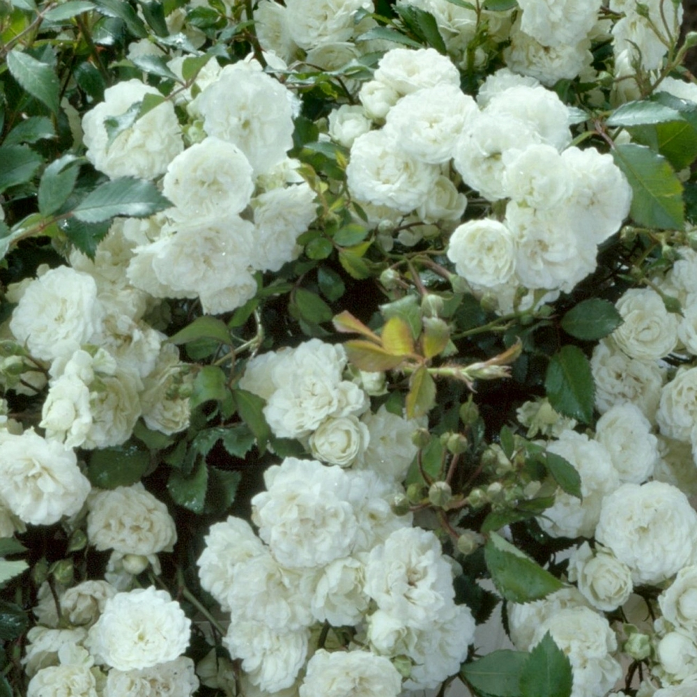 Cottage Farms Direct Perennials Chantilly White Mini Rose 3pc