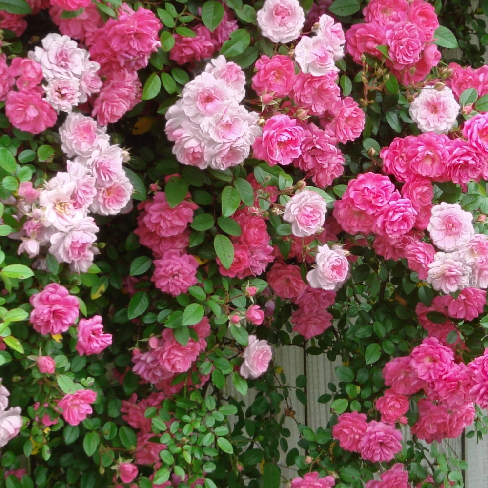 Cottage Farms Direct Climbing Roses 2 N 1 New Dawn And