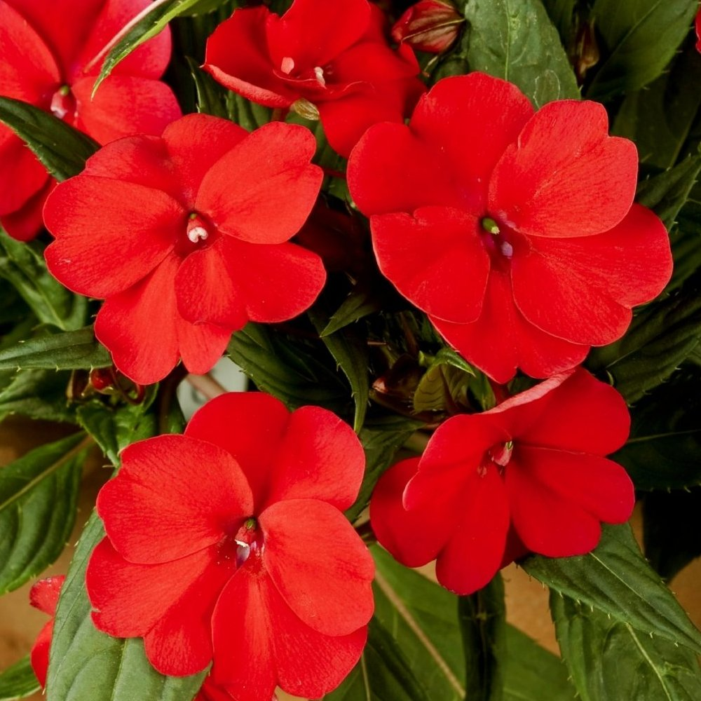 Cottage Farms Direct - Annuals - 'Cherry Bomb' SunPatiens® - 3pc