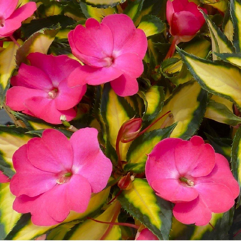 Cottage Farms Direct - Annuals - 'Pink Lightning' SunPatiens