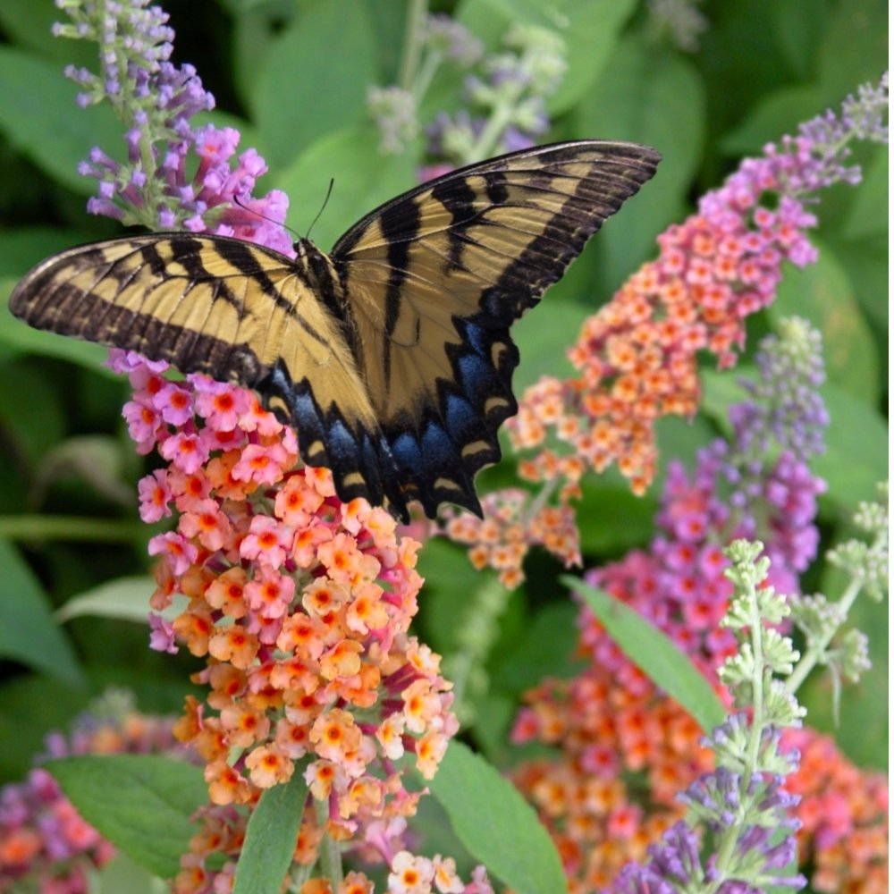 Cottage Farms Direct Sun Bi Color Butterfly Bush 2pc
