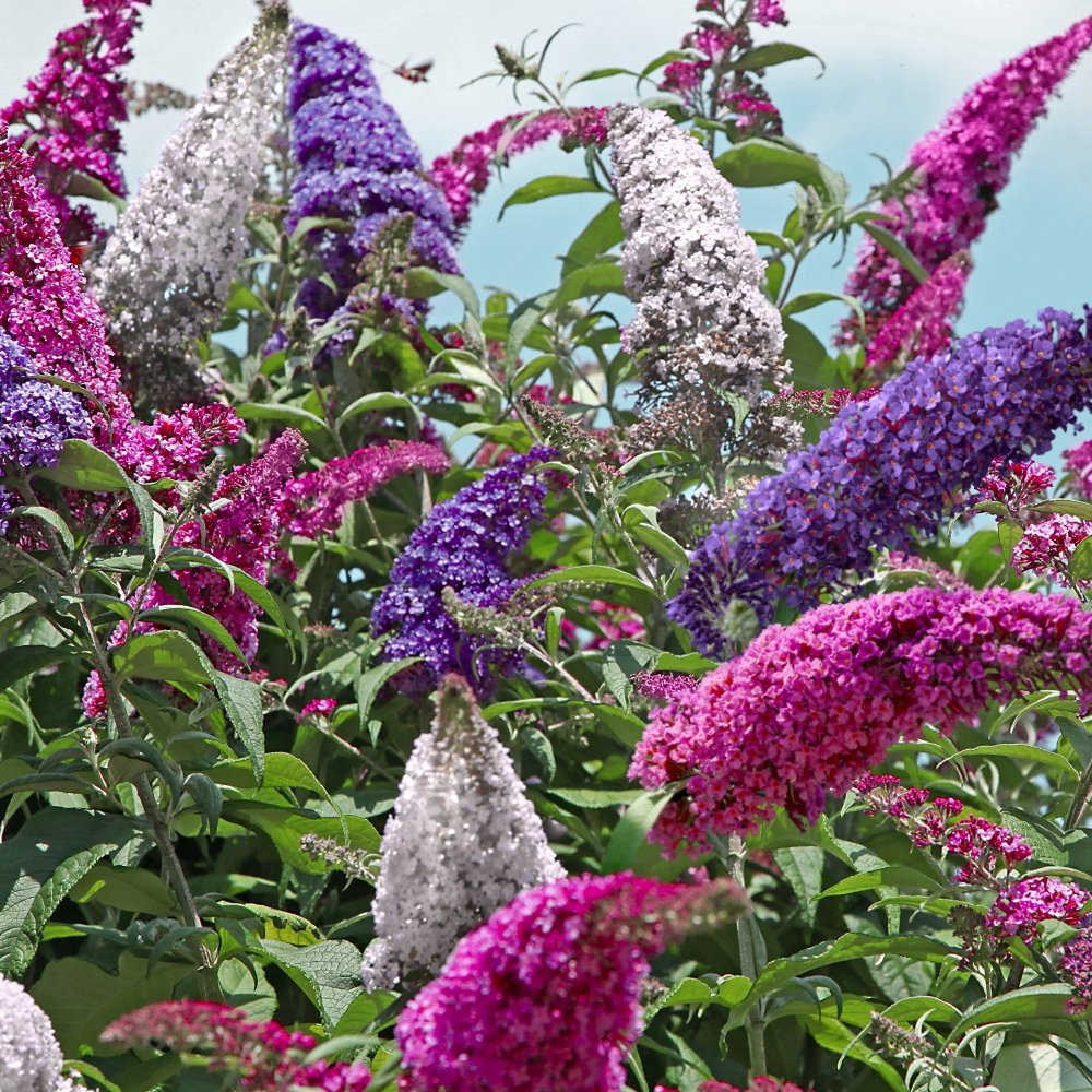 Cottage Farms Direct Perennials 3 N 1 Buzz Butterfly Bush