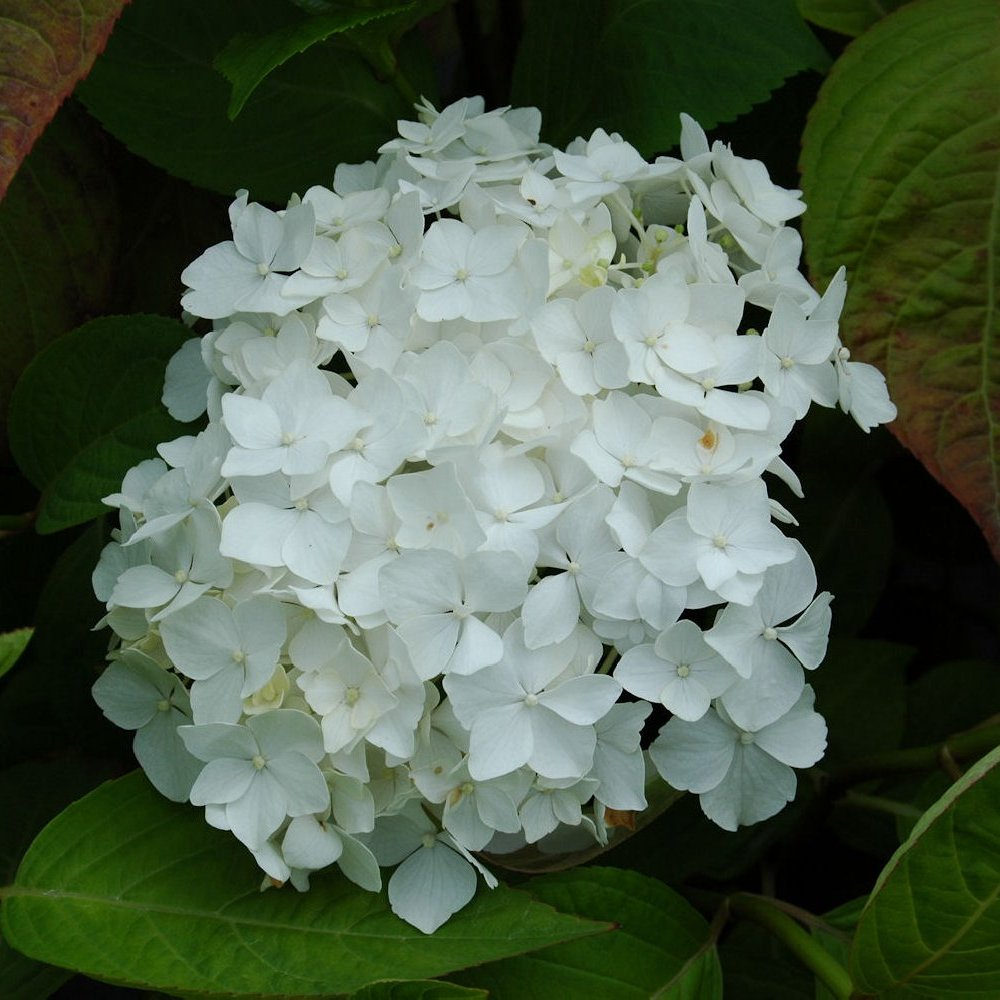 Cottage Farms Direct Perennials Snow Storm Hydrangea