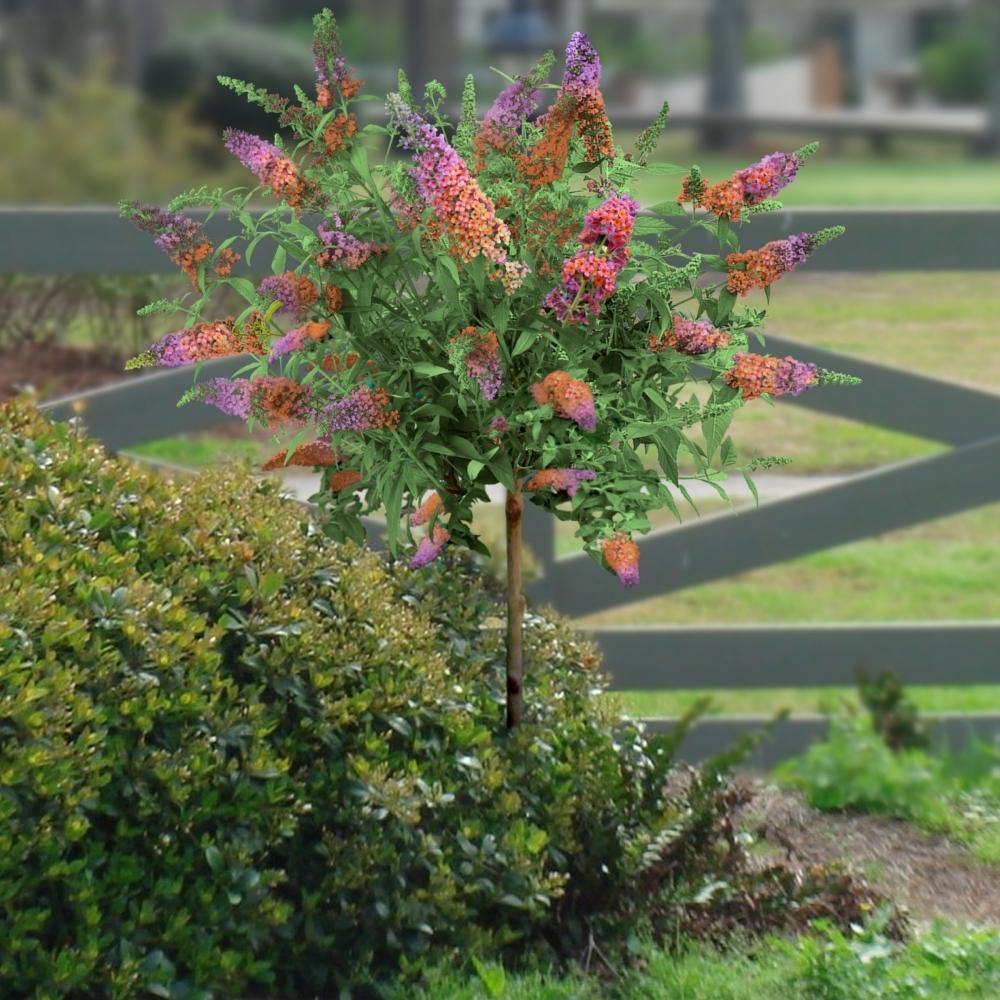 Cottage Farms Direct Sun Bi Color Butterfly Bush