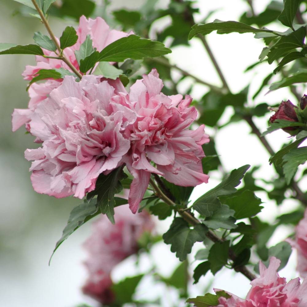 Cottage Farms Direct - Perennials - 'Peppermint Smoothie™' Rose of