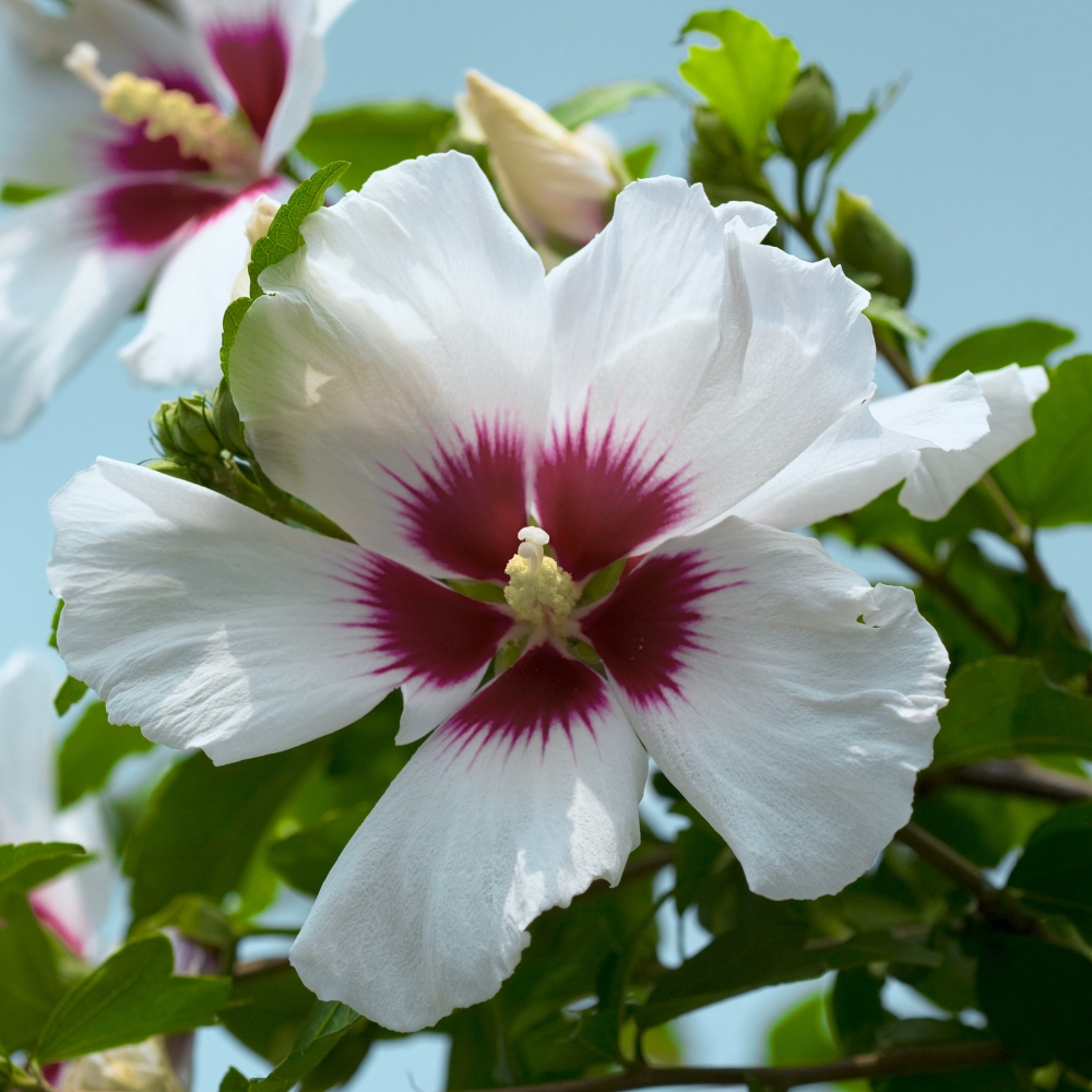 Cottage Farms Direct Perennials Helene Rose Of Sharon Hibiscus
