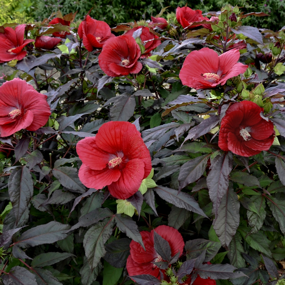 Cottage Farms Direct Perennials Hibiscus Midnight Marvel
